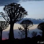 Kokerbomenbos Namibië
