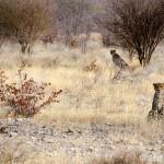 op de cheetahfarm Namibië