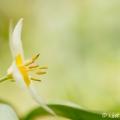 Turkse tulp in de tuin